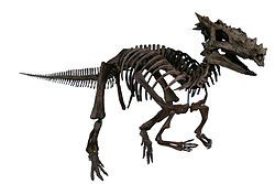 A reconstructed skeleton of the Dracorex hogwartsia (Dragon king of Hogwarts).  In the genus of Pachycephalosauridae, dug up in the Hell Creek formation in S. Dakota.  It is possibly a young version of Stygimoloch spinifer.  It got given the name of Dracorex Hogwartsia because it was originally donated to the Children's Museum of Indianapolis.  At least they admit that this one is a dragon!