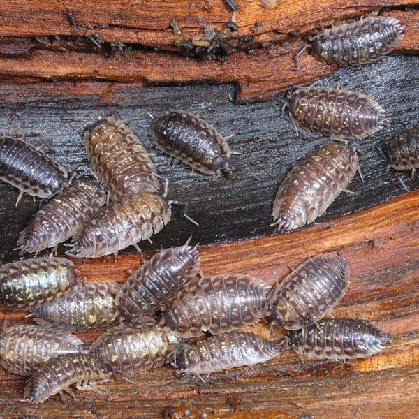 How to Get Rid of Roly Poly Bugs (Sowbugs)