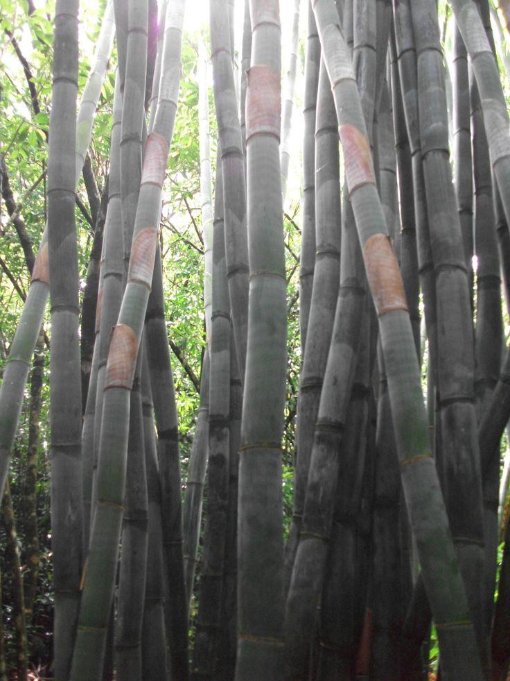 Bamboo in Hawaii
