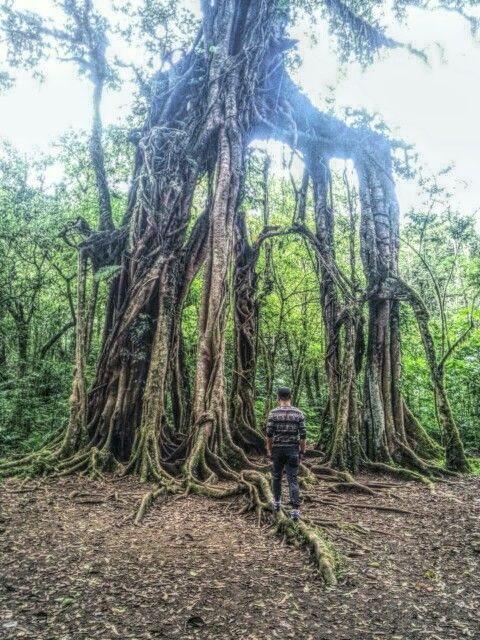 A very old beautiful tree grows in botanical garden Bedugul Bali: