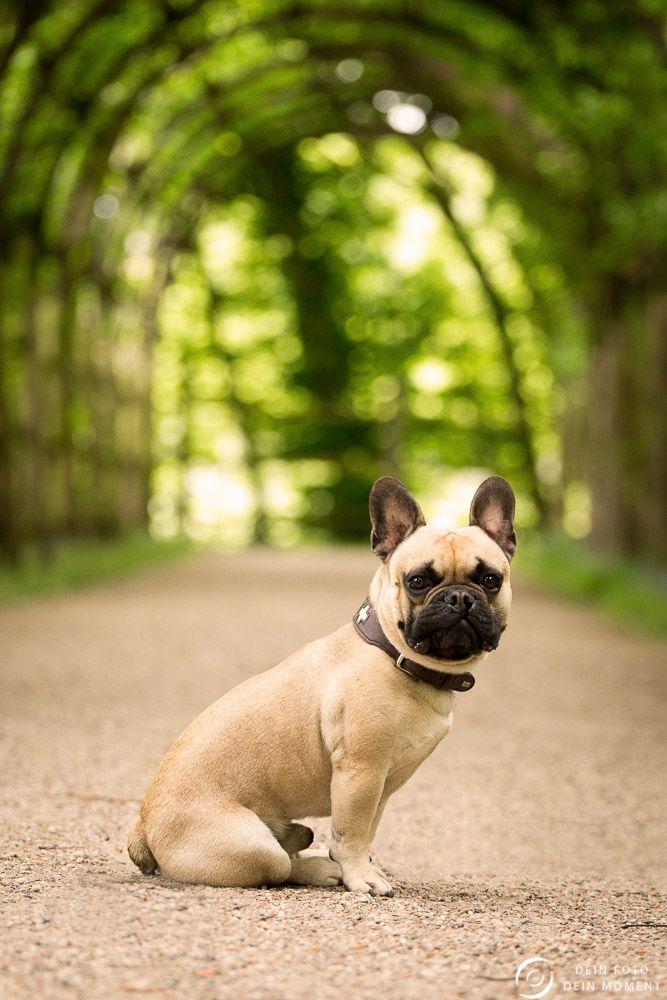 die besten 25 franz siche bulldogge ideen auf pinterest franz sische bulldogge franz sische. Black Bedroom Furniture Sets. Home Design Ideas