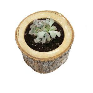 Çam Succulent-Sukulent