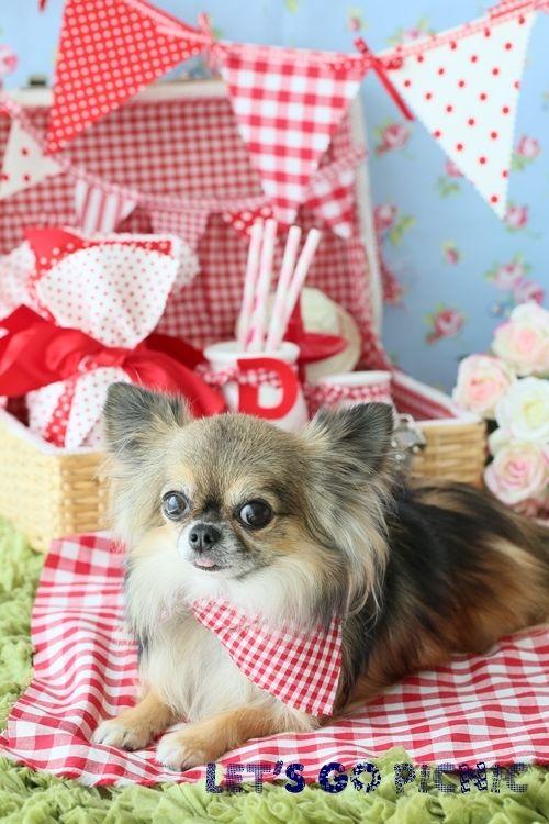 Chi-i Pure Dream Great Chihuahua Portrait