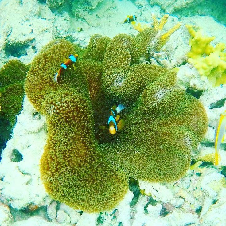 Clownfish #nemo #clownfish #cruisewhitsundays #whitsundays #hardyreef #reefworld #greatbarrierreef by cassettetimms http://ift.tt/1UokkV2