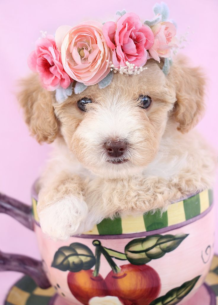 Toy Poodle Puppy by Teacup Puppies