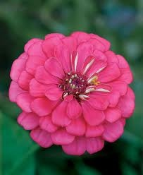 Zinnias represent thoughts of friends. Mixed zinnias mean thinking of an absent friend. Scarlet zinnias symbolize constancy, while white ones mean goodness.