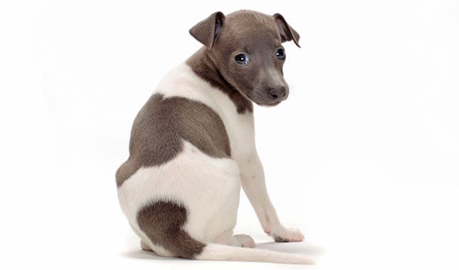 Everything you want to know about Italian Greyhounds including grooming, training, health problems, history, adoption, finding good breeder and more.