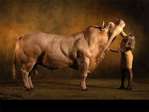 "Belgian Blue cattle are ""naturally"" myostatin negative. These beasts are 100% muscle 0% fat and though your usual clenbuterol fattened meatstock cannot compete, the heavily abused beta-2 agonist could infact work its muscle building, fat burning magic via very similar mechanisms."