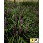 "LIRIOPE muscari 'Big Blue' monkey grass; bloom: late summer; height=14"";"