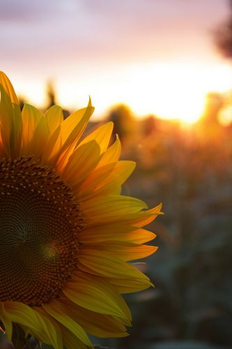 """""""But tomorrow may rain, so I'll follow the sun."""" I love sunflowers <3 There are fields of them here and so lovely when they bloom <3"""