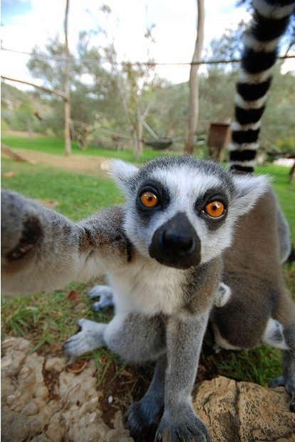 Reason #whatever that I could be convinced into doing primatology and focusing on lemurs: they take selfies