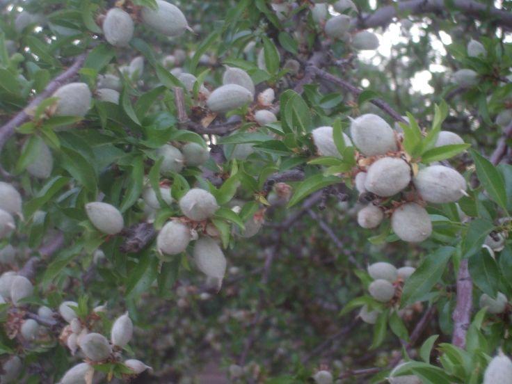 Almond Pollination