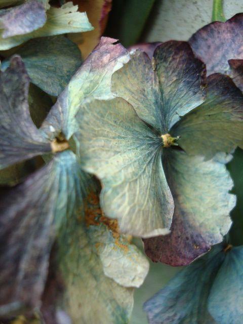 ❈ Fleurs Foncées ❈ dark art photography flowers & botanical prints - hydrangea close-up