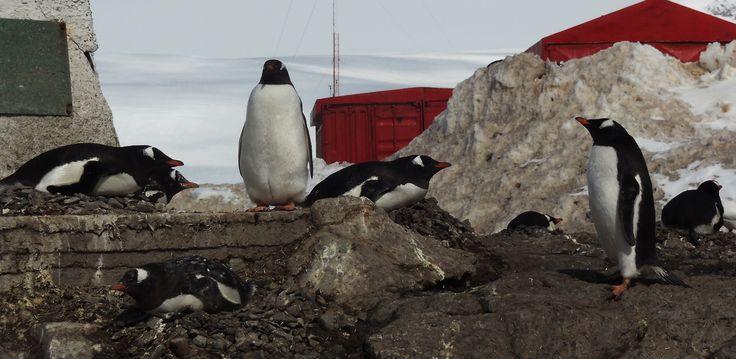 Pinguinos empollando, Base Bernardo O'Higgins.