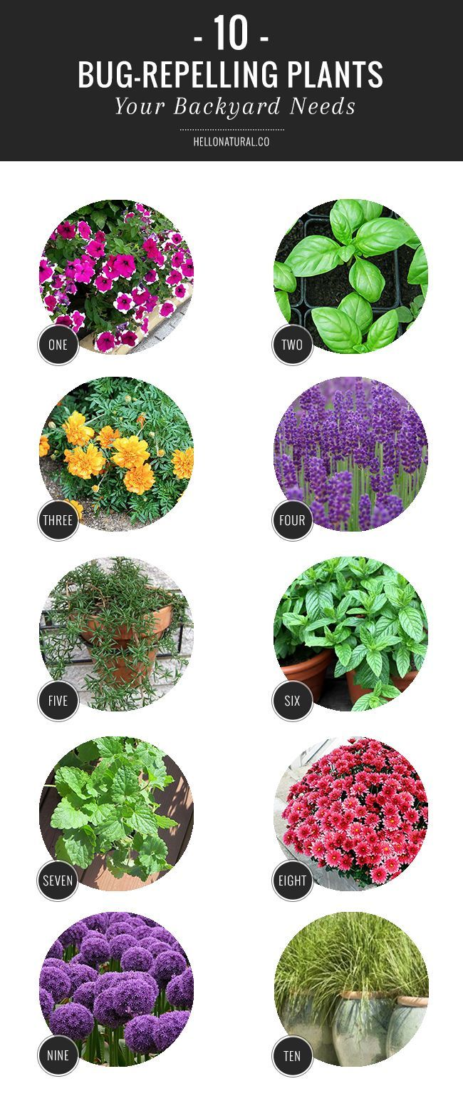 10 Bug-Repelling Plants Your Backyard Needs | http://hellonatural.co/10-bug-repelling-plants-your-backyard-needs/