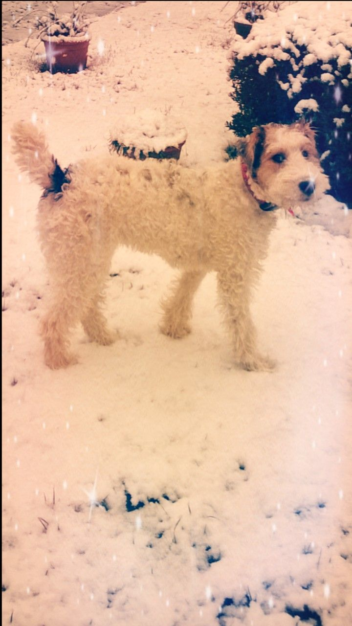 1643 besten Wire Fox Terriers Bilder auf Pinterest | Smoothies ...
