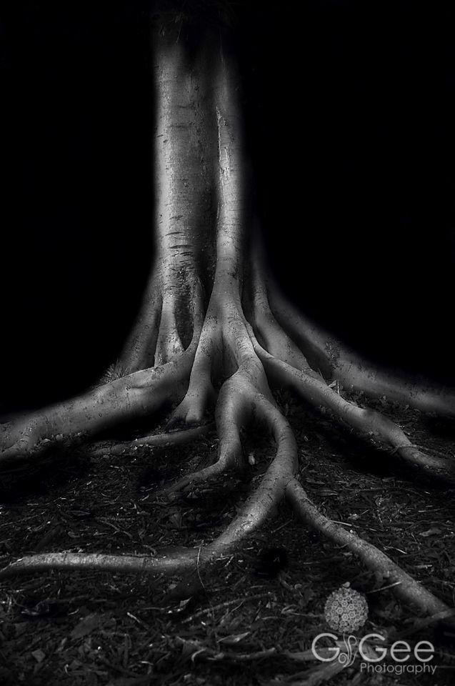 Ghost Fig Elkington Park, Balmain - NSW