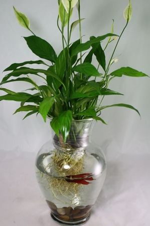 43 best images about bettas on pinterest auction for Plants for betta fish vase