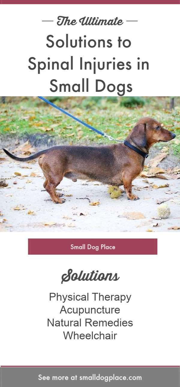 Solutions For Spinal Injuries In Dachshunds Other Small Breeds