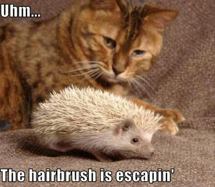 Ummmm…the hairbrush is escaping! | hair humor | lol | animal jokes | cute animals | cat