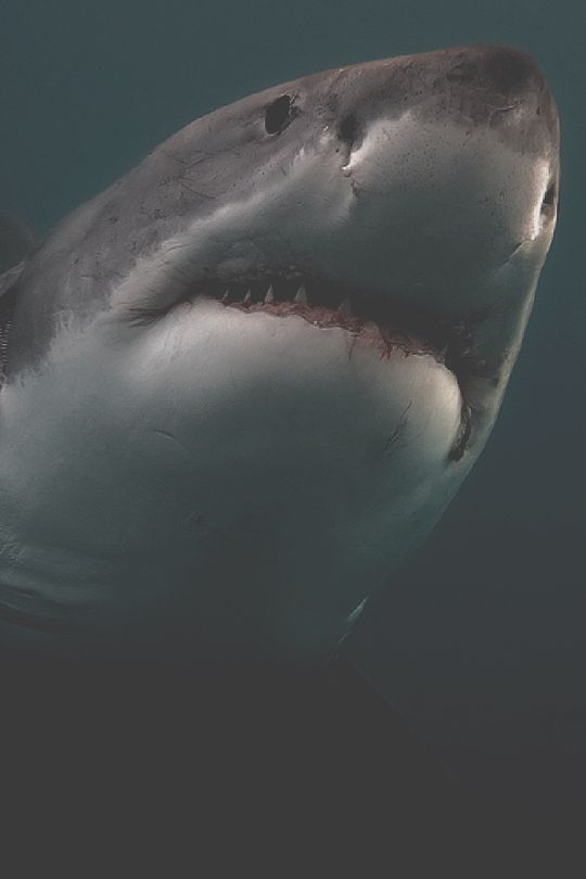 FUCK YEAH SHARKS - earth-dream:  Great White   And i contemplate…...