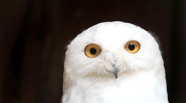 Burung hantu salju di Taman Geiselwind, Jerman