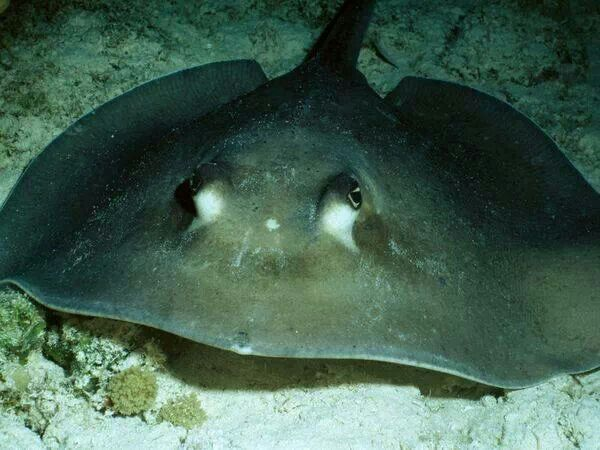 #DidYouKnow the Stingray's tail features a poisonous barn, wich is used only in self-defense. #Stingrays are generally docile and will swim to divers and snorkelers without fear