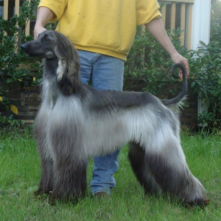 Sims 3 Afghan Hound 82 best images about A...