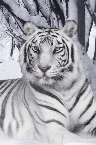White tiger-6 Animal healing sounds-Tiger-Metal-lungs-Large Intestine-Healing Sound-Hisssss