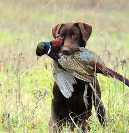 Our Girls   Trinity Oak Hunting Labrador Retrievers
