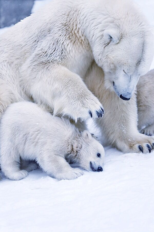 231 best images about Polar Bears on Pinterest | Mothers ...
