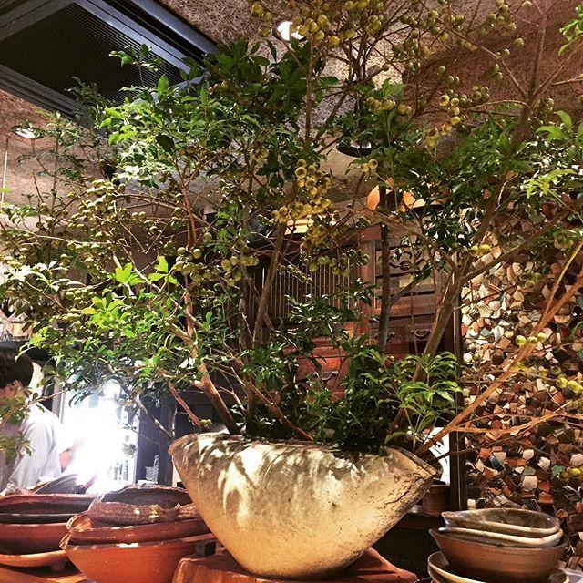 【m____kagoshima】さんのInstagramをピンしています。 《【大五郎🐟】 馬酔木🌈  #馬酔木#大五郎のカウンターに飾っている植木は毎週末変わるそうです❤︎もうすぐ桜の季節ですね🌸大五郎にも桜が咲きますよ…🌸 #大五郎#鹿児島グルメ#植木#素敵#桜#楽しみ#おしゃれ》