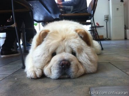chow chow~~I want another one!