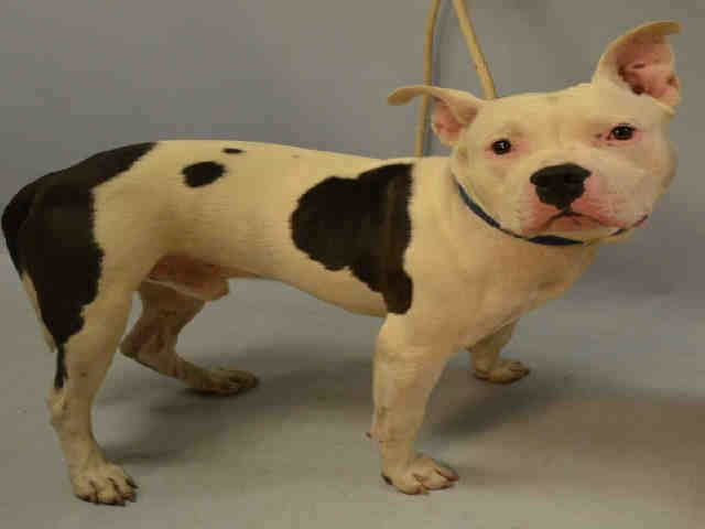 ROCKY aka PAPITO - A1093467 - - Manhattan  Please Share:TO BE DESTROYED 10/19/16 **HISTORY OF SEIZURES. NEEDS A NEW HOPE RESCUE TO PULL**  ** NEEDS NEW HOPE RESCUE DUE TO MEDICAL ** The sound of a champion coming to the aid of one three year old dog is the only way Rocky will live another day. Rocky arrived at the ACC of NYC as a stray, at intake he had a seizure on 10/14. This put this adorable Staffie mix in a situation where the shelter did not perform a behavioral SAFER
