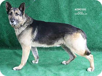 URGENT! High Kill Shelter!Hanford, CA - Senior- German Shepherd Dog. Meet A090391, a dog for adoption. http://www.adoptapet.com./pet/17684653-hanford-california-german-shepherd-dog