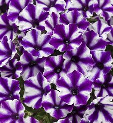 Supertunia Mini Vista Violet Star Petunia Hybrid Petunias