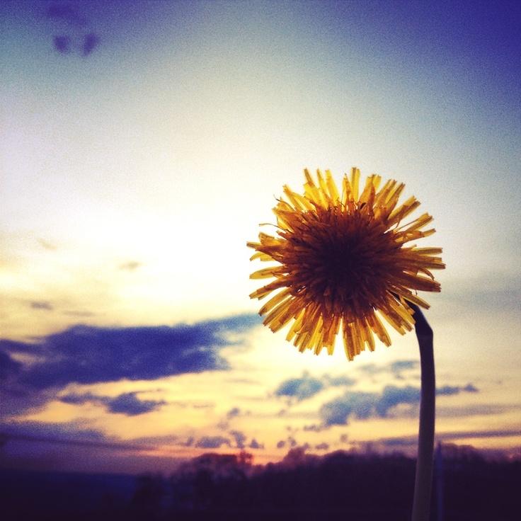 dandelion sunset related keywords - photo #9