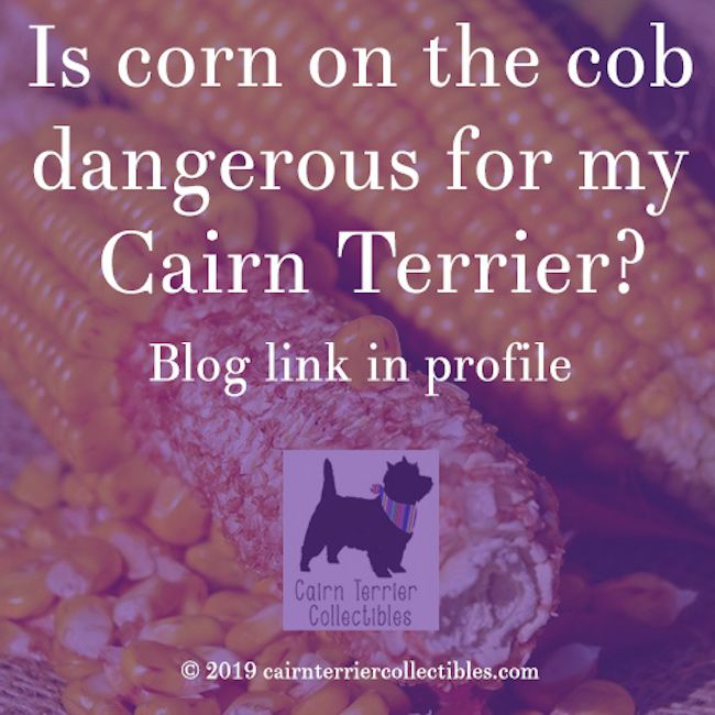 Is Corn On The Cob Dangerous For My Cairn Terrier Cairn Terrier