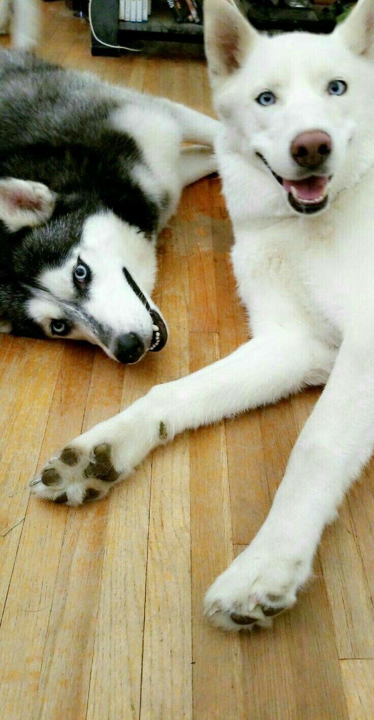 My Favorites Are Siberian Huskies By Reba Sherwood Siberian
