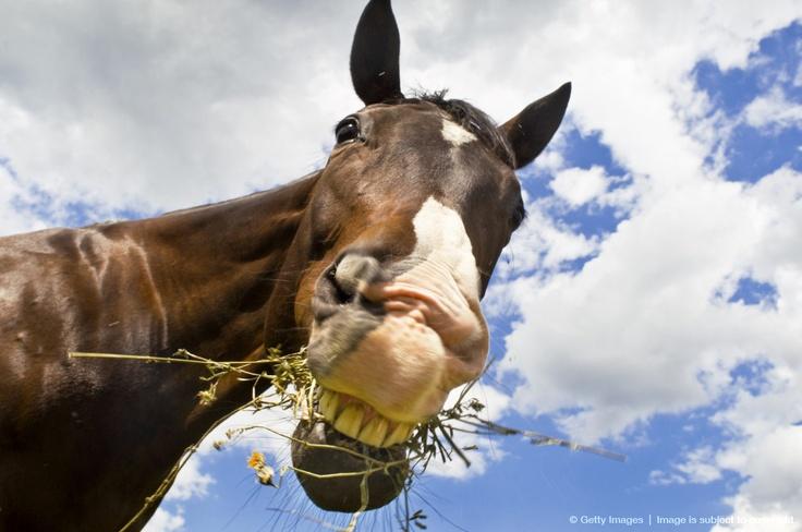 Female Quarter horse eating weeds, Canandaigua, New York