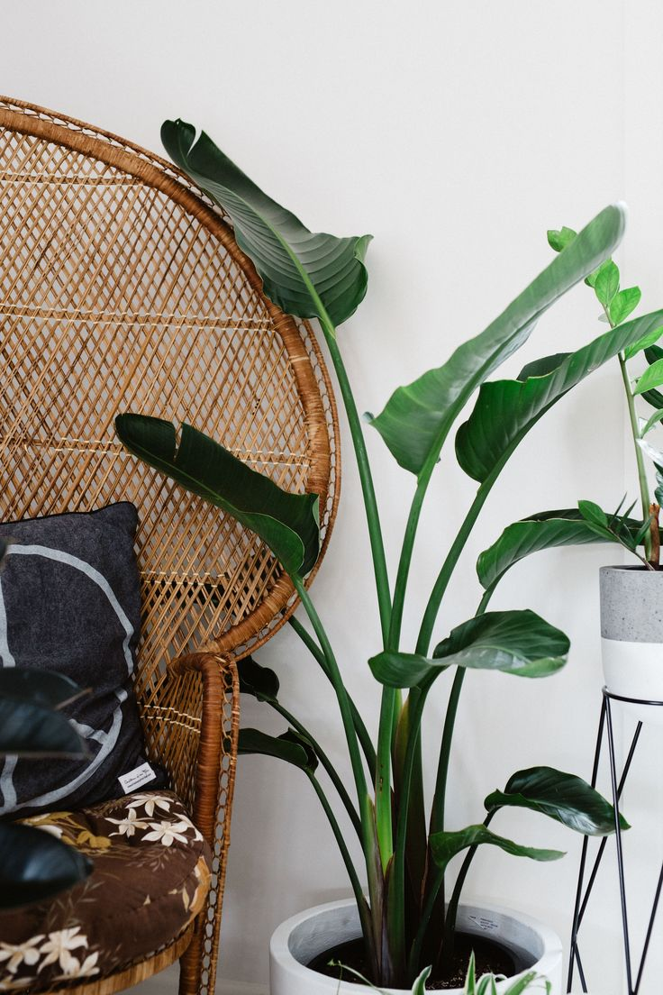 indoor plants, bird of paradise, strelitzia nicolai, plant styling,