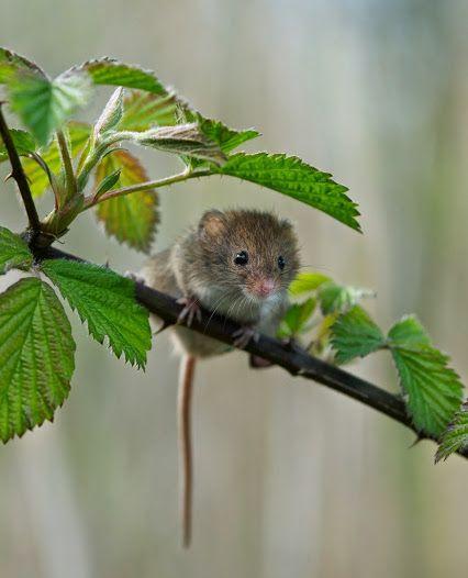 Harvest Mouse by Matt Binstead - Google+