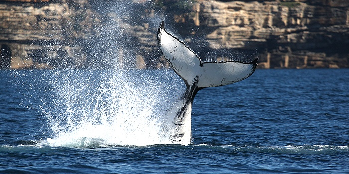Whale Watching Sydney - 10-20% Off if you book on-line.