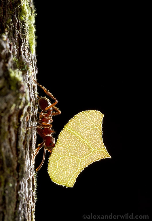 "Alex Wild - ""Among the more charming insects I encountered in southern Brazil was Acromyrmex disciger , a furry little leafcutter ant species. Here, a worker carries a cut leaf down a tree trunk."" http://myrmecos.net/"
