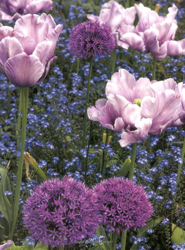PURPLE, PINK and BLUE: Tulips, Allium