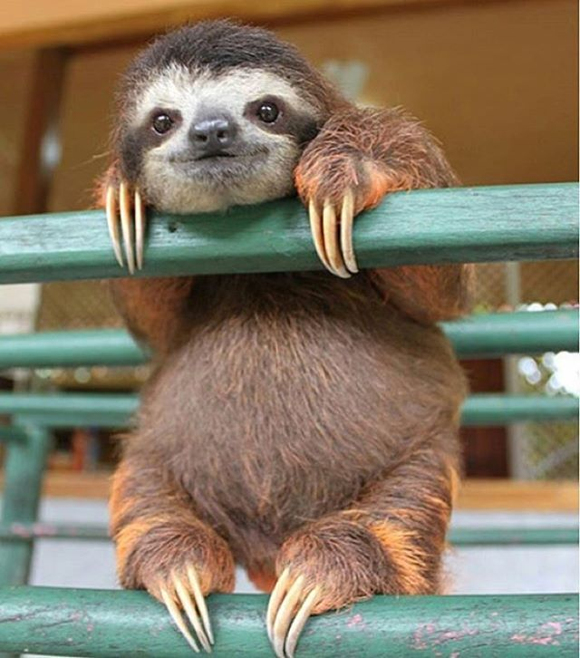 Tag your Friends! Sloth ❤️ : Unknown (No copyright intended. For crediting issues email animaldisplay@outlook.com) _