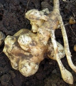 The sunchoke or Jerusalem artichoke is delicious raw or sauteed. It's a native plant and very easy to grow. Go to the original article for more details.