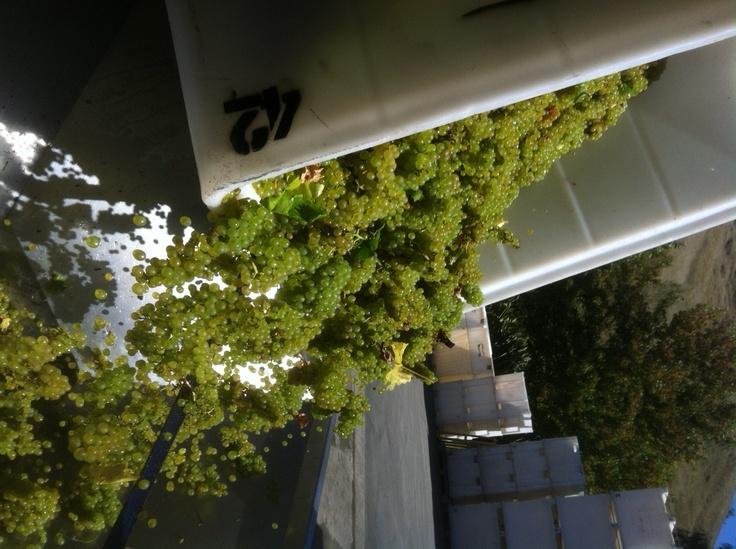 freshly picked Trinity Hill Chardonnay (Hawkes Bay, NZ)