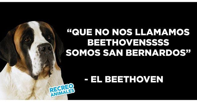 Alguna Vez Has Visto A Un Beethoven En Persona Yo No Pero Debe Ser Hermoso Beethoven Sanbernardo Perros Perrosgrandes Pretty Animals I Love Dogs Memes