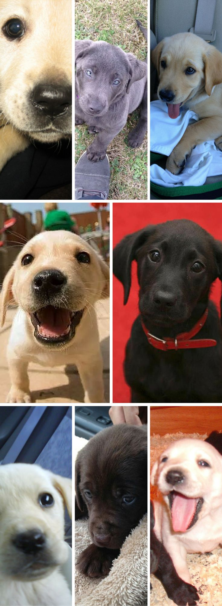 No wonder the Labrador Retriever is at the top of our most popular dog breed poll: look how adorable and cute they are! =D